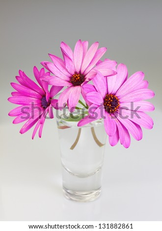 Bouquet of flowers osteospermum in a vase on a gray background. - stock photo