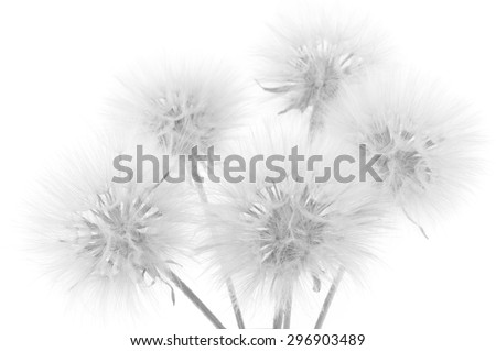Bouquet of fluffy dandelions on white background. Black and white image,  high key. Shallow DOF, focus on front flowers.