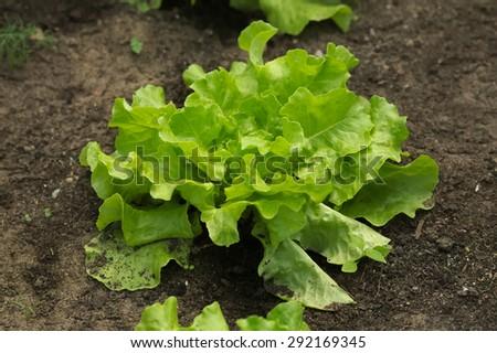 bouquet of fresh lettuce - stock photo