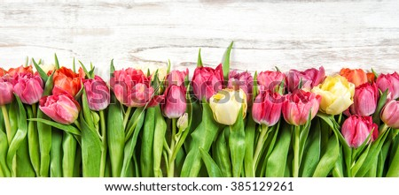 Bouquet of fresh multicolor tulips. Spring flowers. Floral border - stock photo