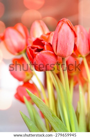 Bouquet of fresh red tulips symbolic of spring , love and romance for a loved one on an anniversary or Valentines Day - stock photo