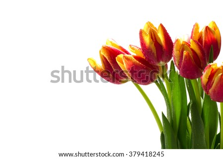 bouquet of fresh tulips in red, orange, yellow with dew drops, isolated on white as a corner background with copy space - stock photo