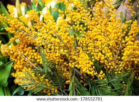 bouquet of fresh yellow mimosa spring - stock photo