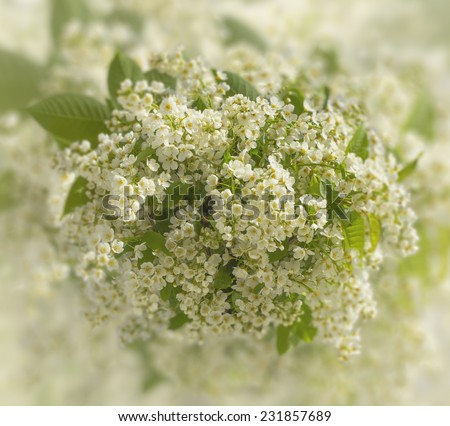 Bouquet of gentle white flowers of bird cherry tree on a background a blossoming spring garden