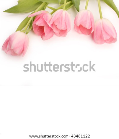 Bouquet of gently pink tulips on  white background