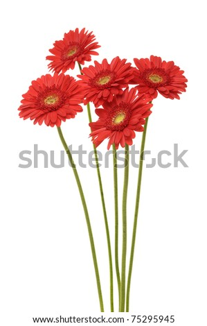 Bouquet of gerber flowers isolated - stock photo