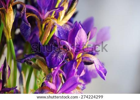 Bouquet of irises - stock photo