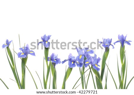 Bouquet of irises on a white