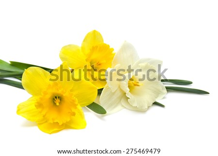 Bouquet of narcissus on white background - stock photo