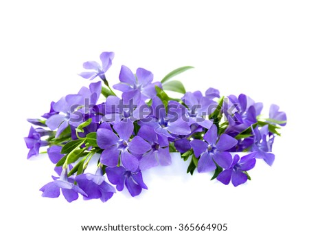 Bouquet of periwinkle on white background