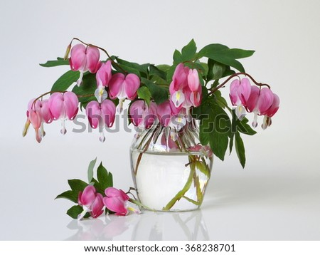 Bouquet of pink bleeding heart flowers on a vase. Romantic floral still life with pink flowers. Lamprocapnos dicentra spectabilis, bleeding heart, Dutchman´s breeches, lyre flower or lady in a bath. - stock photo