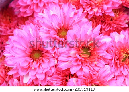 Bouquet of pink chrysanthemum, close up  - stock photo