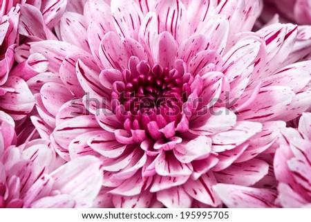 bouquet of pink chrysanthemums closeup - stock photo
