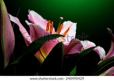 Bouquet of pink lilies with white-pink petals on dark green background - stock photo