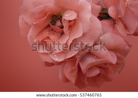 bouquet of pink roses on a pink background