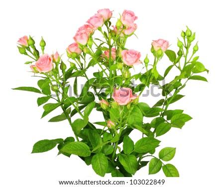 Flower Bushes White Background