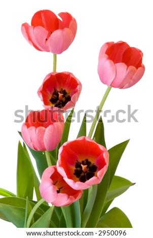 Bouquet of pink tulips isolated against a white background.