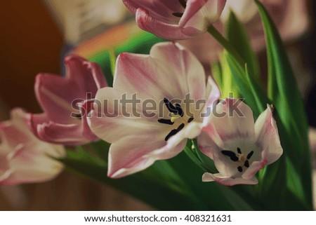 bouquet of pink tulips macro - stock photo