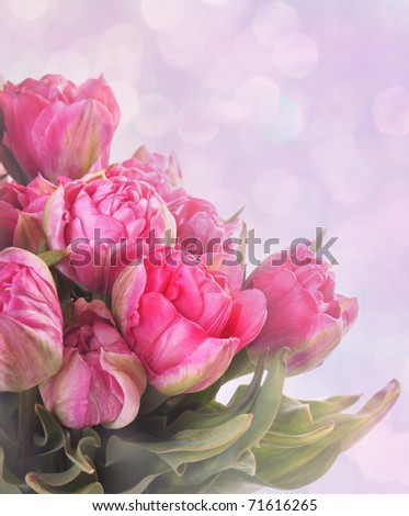 Bouquet of pink tulips toned with violet and pink color - stock photo