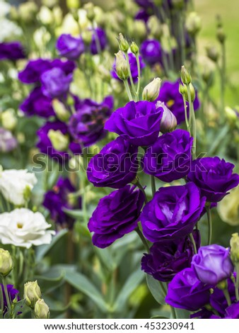 lisianthus stock images royalty free images vectors shutterstock. Black Bedroom Furniture Sets. Home Design Ideas