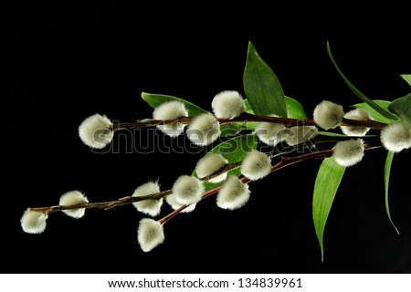 bouquet of pussy willow and green leaves on black - stock photo