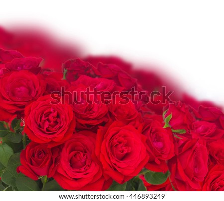 bouquet of scarlet red  blooming roses  border  on white background