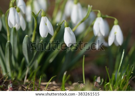 Bouquet of spring flowers. White snowdrops blooming in meadow. Sunny weather - stock photo