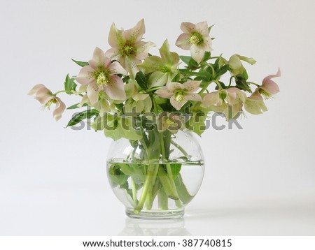 Bouquet of spring hellebore flowers in a vase. Romantic floral still life with spring helleborus flowers.  - stock photo