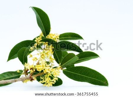 Bouquet of Sweet osmanthus or Sweet olive flowers blossom on white background - stock photo