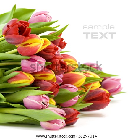 bouquet of the fresh tulips on white background(With sample text) - stock photo