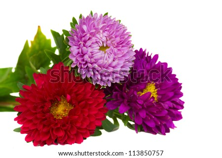 bouquet of  three aster flowers   isolated on white background