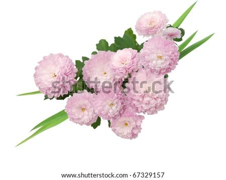 Bouquet of violet mum daisy decorating - stock photo