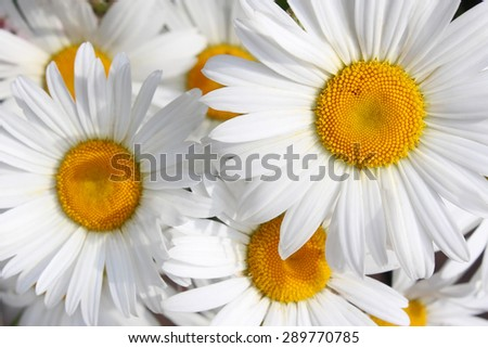 Bouquet of white daisies - stock photo