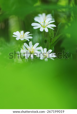 bouquet of white daisy close-up. soft focus, blur flower. flower background green color - stock photo