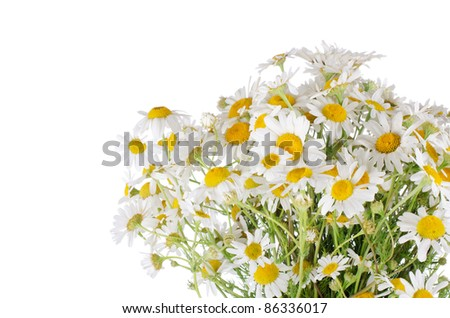 Bouquet of wild camomiles isolated on white