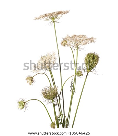 Bouquet of wildflowers isolated on white background. Daucus carota (wild carrot) - plant of Carrot Family. - stock photo