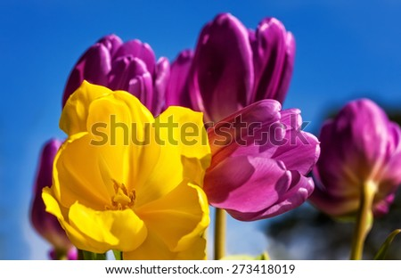 Bouquet of yellow and purple tulips against a blue sky