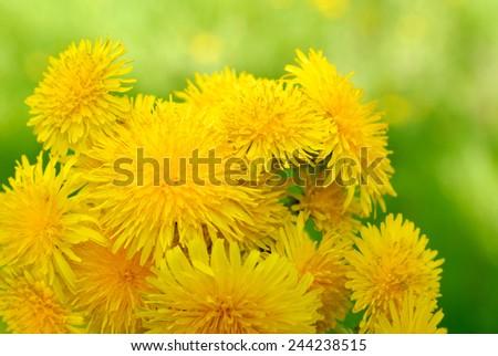 Bouquet of yellow dandelions - stock photo
