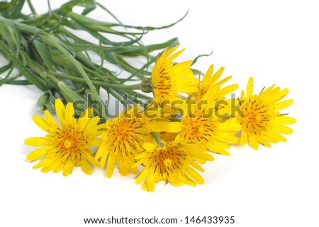 Bouquet of yellow flowers salsify isolated on white background - stock photo