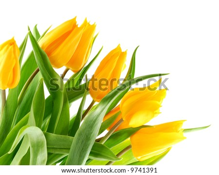 Bouquet of yellow tulips in the bottom left corner. - stock photo