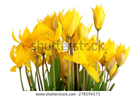 Bouquet of yellow wild tulips isolated on white - stock photo