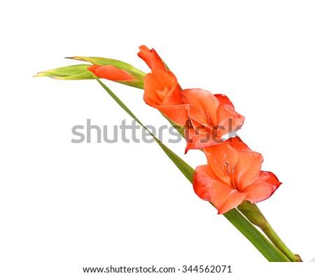 bouquet orange Asiatic lily flower (Lilium bulbiferum croceum), isolated on white. - stock photo