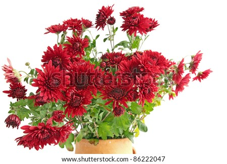Bouquet red chrysanthemums against the white background