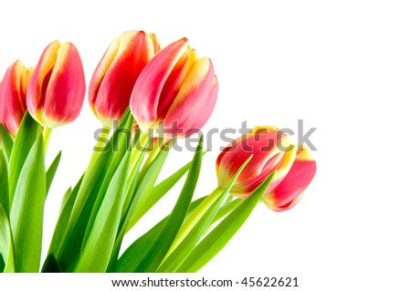 Bouquet red with yellow tulips isolated on white background - stock photo