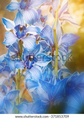 Bouquets of blossom blue cymbidium orchid flowers decoration - stock photo