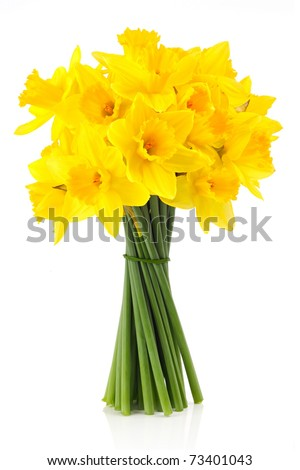 bouqut of yellow lent lilyl (daffodil) isated on white background. - stock photo