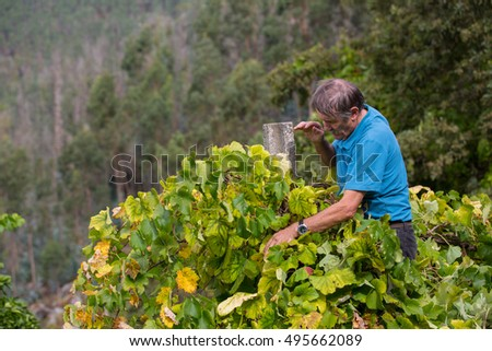 BOURO - OCTOBER 5: Farmer picking grapes during harvest at a vineyard on October 5, 2016 in Bouro, Portugal. The region of Minho