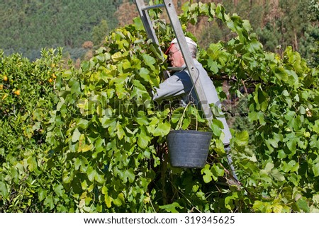 BOURO - SEPTEMBER 19: Farmer picking grapes during harvest at a vineyard on September 19, 2015 in Bouro, Portugal. The region of Minho