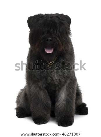Bouvier des Flandres dog sitting in front of white background - stock photo
