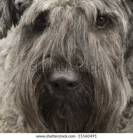 Bouvier des Flandres () in front of a white background - stock photo